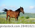 Horse 28481021