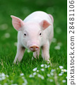 Young pig in grass 28481106