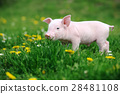 Young pig in grass 28481108