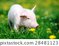 Young pig in grass 28481123
