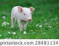 animal pig piglet 28481134