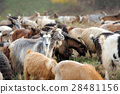 Goat in meadow 28481156