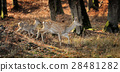 Whitetail Deer standing in autumn day 28481282
