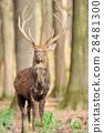 Deer in autumn forest 28481300