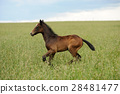 Horse 28481477
