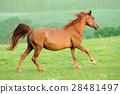 Horse 28481497