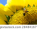 sunflower with bee 28484167