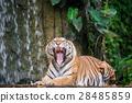 Tiger 28485859