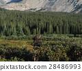 elk, moose, elks 28486993