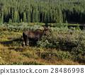 elk, moose, elks 28486998