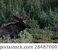 elk, moose, elks 28487000