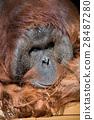 猩猩 哺乳動物 猭 28487280