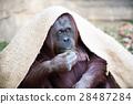 布覆盖的猩猩 28487284