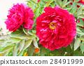 peony, bloom, blossom 28491999