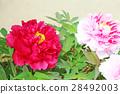 peony, bloom, blossom 28492003