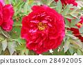 peony, bloom, blossom 28492005