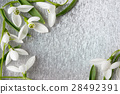 Fresh snowdrop flowers on  silver background 28492391