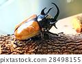 Beautiful beetle staffing ,Staffed five horns beet 28498155