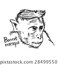 Bonnet macaque closeup - vector illustration  28499550