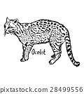 ocelot - vector illustration  28499556