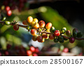 Coffee beans ripening on tree in North of thailand 28500167