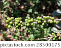 Coffee beans ripening on tree in North of thailand 28500175