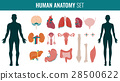 Human internal organ anatomy set. Vector 28500622