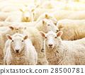 牲畜 家畜 牧场 28500781