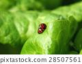 瓢虫 28507561