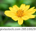 黄色 菊花 花园 28510029