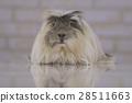 Guinea pig breed Coronet cavy 28511663