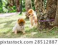 Pomeranian dog 28512887