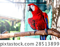 Parrot, lovely bird, animal and pet 28513899