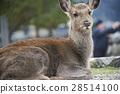 宮島鹿野生動物 28514100