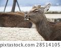 鹿 野生動物 野生生物 28514105