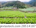 高麗菜田 28514187