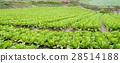 高麗菜田 28514188