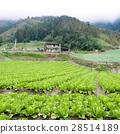 高麗菜田 28514189