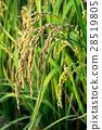 稻穗 28519805