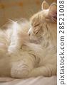 고양이의 잠자는 얼굴 28521008