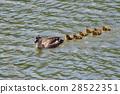 spot-billed, duck, parenthood 28522351