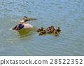 spot-billed, duck, parenthood 28522352