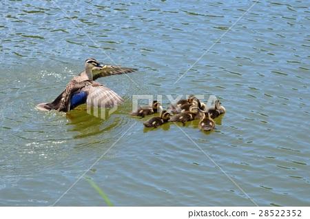 spot-billed duck, parenthood, parent and child 28522352