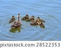 spot-billed, duck, parenthood 28522353