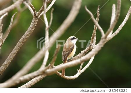 伯勞鳥 28548023