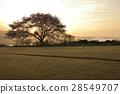 만개 한 벚꽃에 아침 놀 28549707