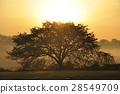 만개 한 벚꽃에 아침 놀 28549709