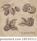 blackberry, drawing, berry 28550311