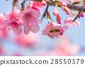 櫻花 櫻 賞櫻 28550379