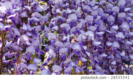 wisteria floribunda 28555541
